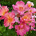 La rose yann arthus bertrand