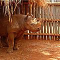 Le zoo tchèque de dvůr králové va transférer cinq rhinocéros noirs au rwanda