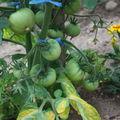 2009 06 16 Quelques petite tomates verte
