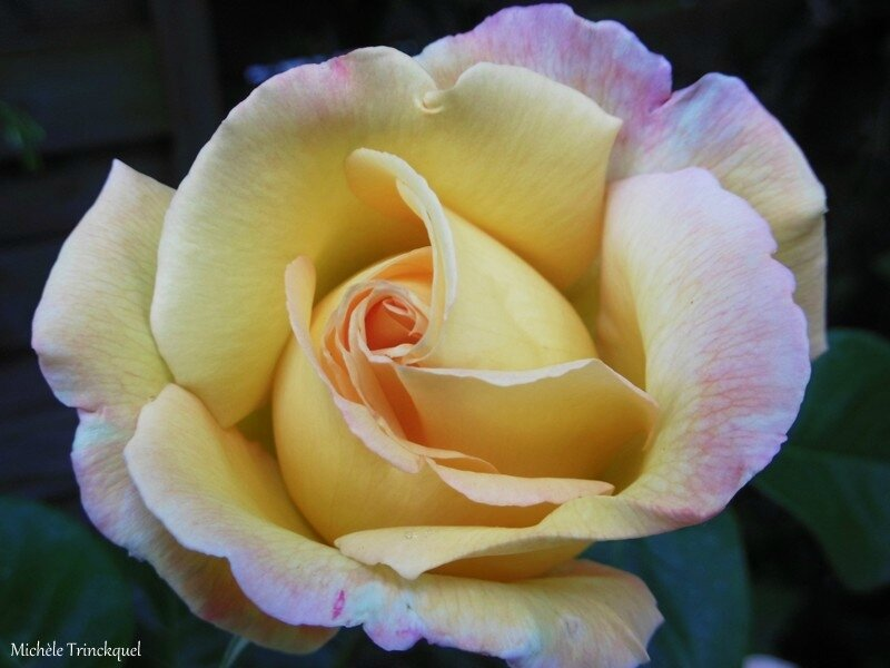 1-Mes roses 050517