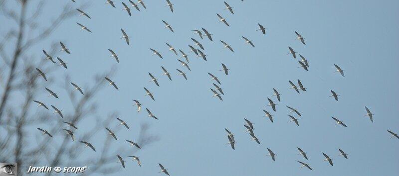 Migration de Grues cendrées dans le ciel du Loiret