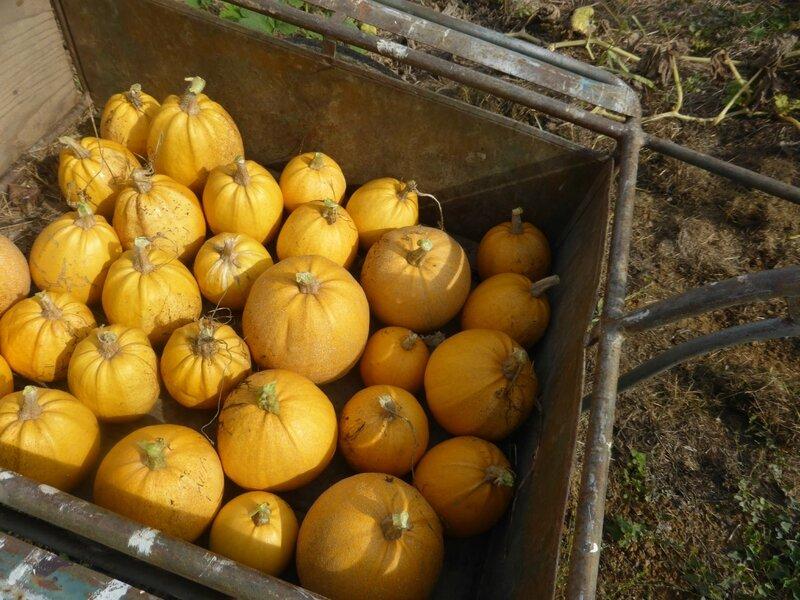 4-courges melonnette jaspée de vendée (4)