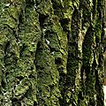 Grimpereau des jardins 2-1-1