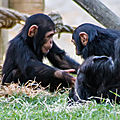 chimpanze beauval3
