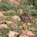 Burhinus oedicnemus2_Larjam_Maroc 2011_XRu