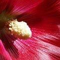 Pistil de rose trémière