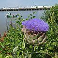 Fleur bleue : fleur d'artichaut