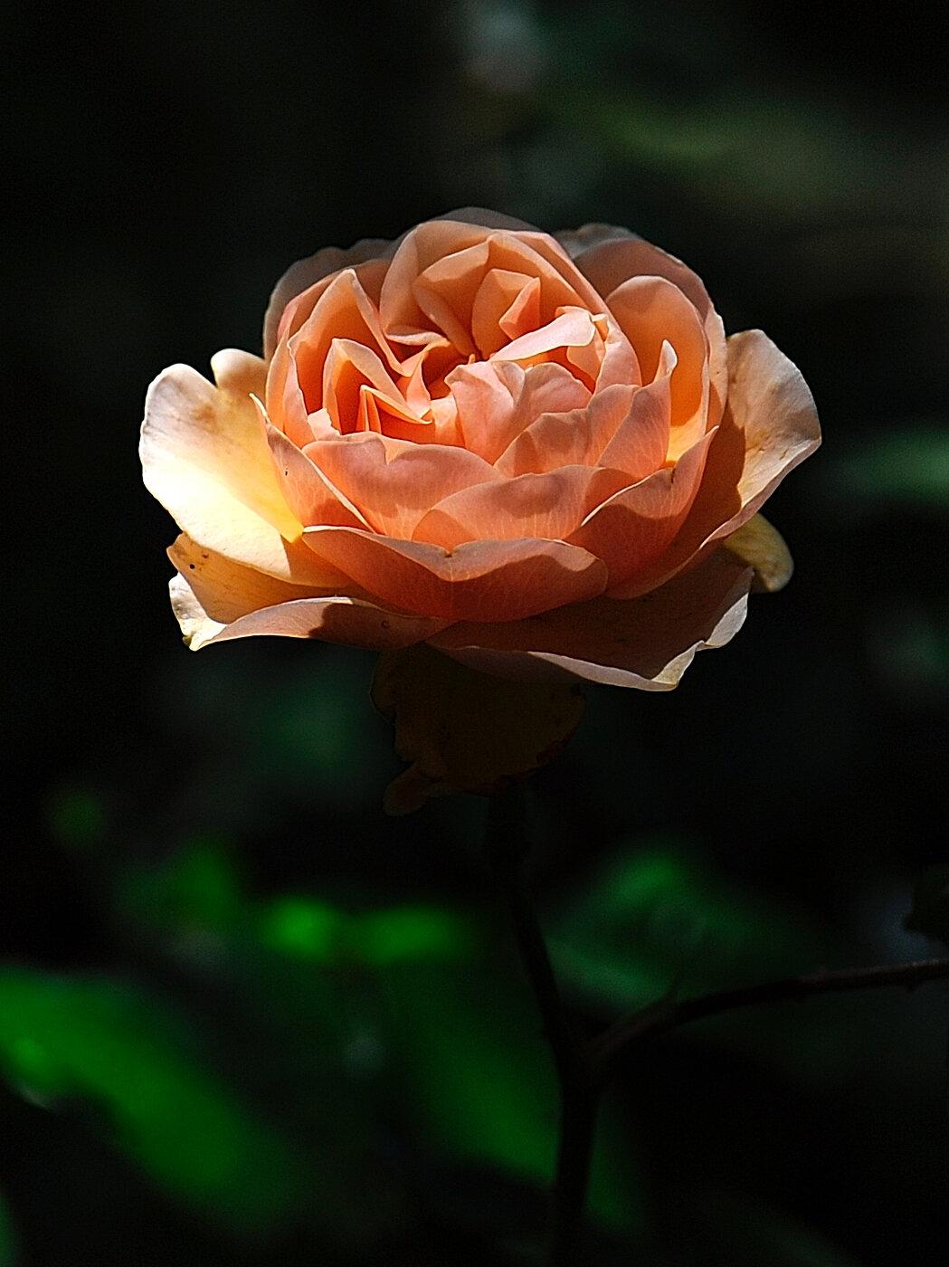 Rose saumon recad
