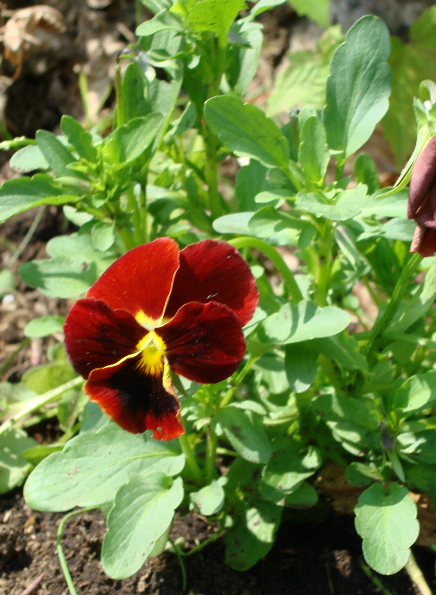 Petite pensée ou Pensée cornue - Viola cornuta 'Arkwright's Ruby'