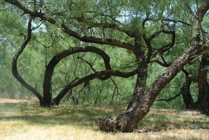 08-06-28clay_mesquite0117_lge