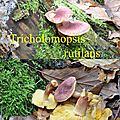 Tricholomopsis rutilans