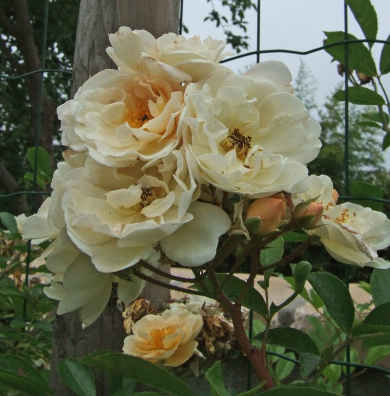 rosa ' goldfinch'