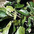 Les feuilles de corossol
