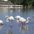 Flamants roses 02