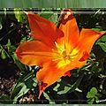 balanicole_2017_05_le printemps des tulipes_51_vendée globe escargot