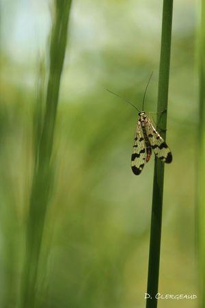 Mouche-scorpion