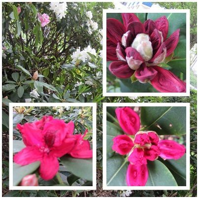 rhododendrons_1