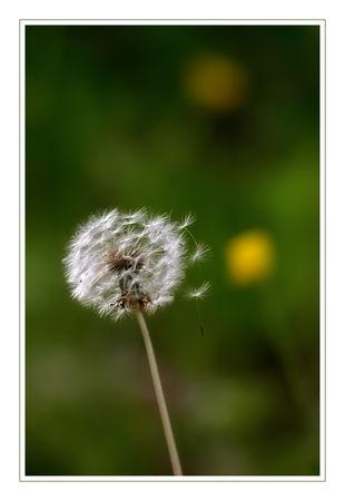 dandelionmai