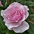 La rose gilles de brissac