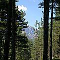 Pin Laricio • Pinus nigra subsp. laricio var. corsicana