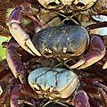 Grappes de crabes de mangrove - Ucides cordatus