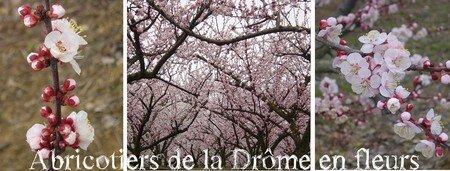 abricotiers_en_fleurs3