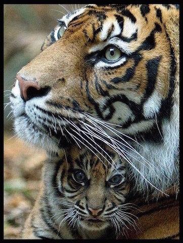 tigresse et tigreau 2