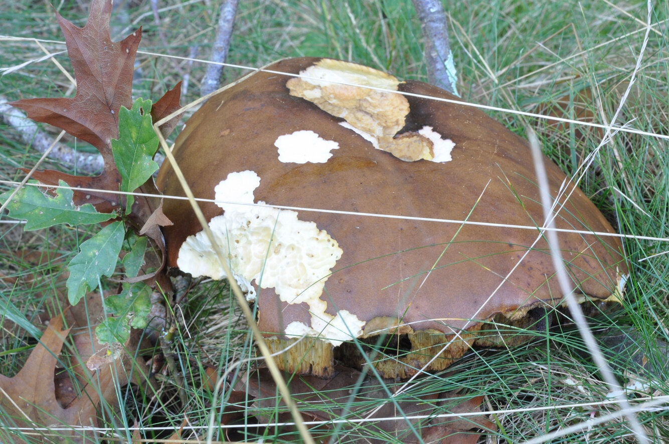 Boleuts pinicola f (1)