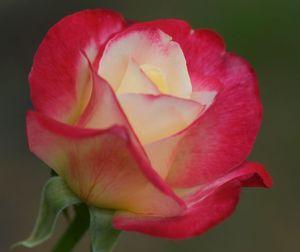 Double_Delight__Tudor__Rose