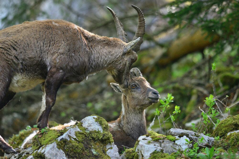 Ibex, mots doux au fond des bois