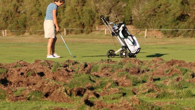 saint-gildas-de-rhuys-les-sangliers-labourent-et-saccagent-le-golf