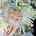 Anémone américaine (telmatactis cricoides)