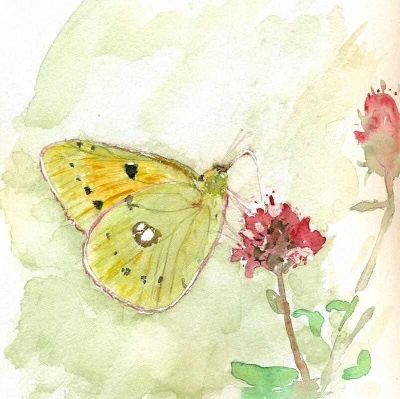 Souci Colias crocea