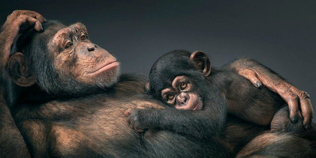 tim-flach-more-than-human-animal-portraits-chimpanzee-mother-and-child-640x320