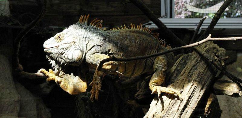 reptiland iguane 2013