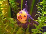 goldfish11