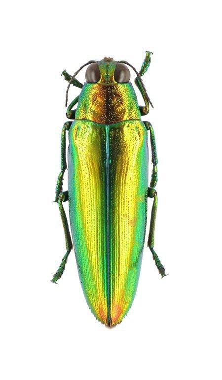 Chrysochroa crhysoides