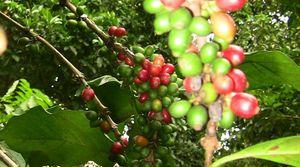 Zanzibar, jardin aux épices, café