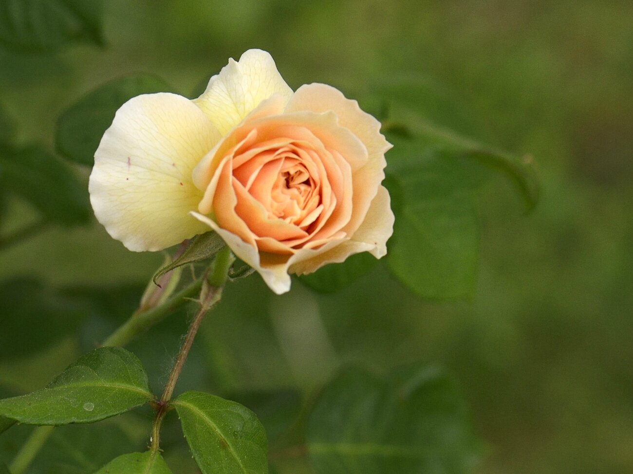 Rose Saumon 30