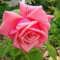 roze2011-rrrr