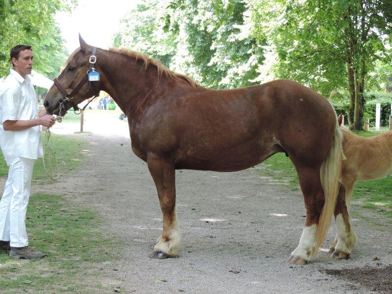 Déesse de Sorrus - 4 Juin 2017 - Concours d'élevage local - Rue (80) - 2e (Suitées)