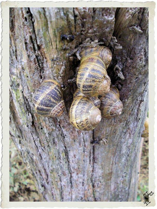 colonie escargots