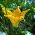 Fleur de courgettes