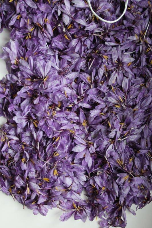 Feuilles de crocus sativus Lvenue de Instant safran, Valérie