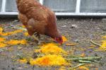 1-poules et potimarron (32)