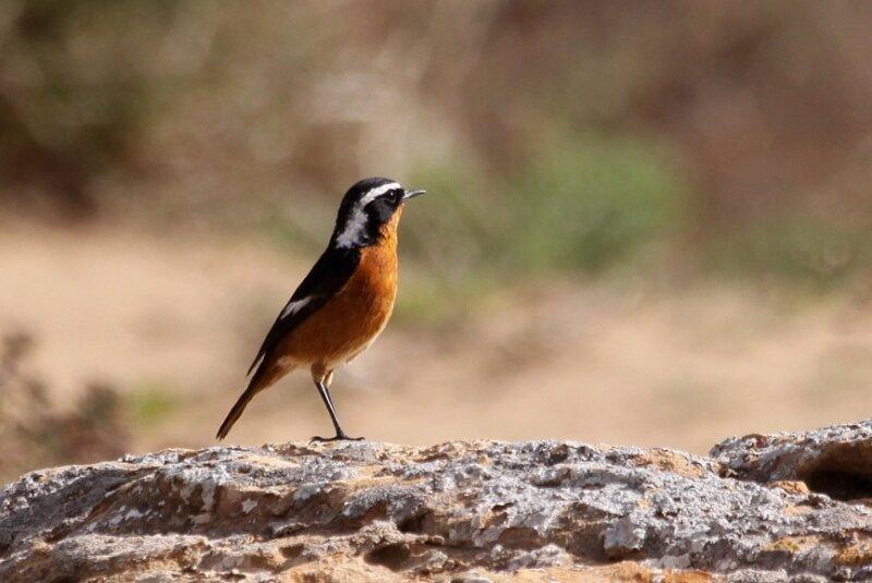Phoenicurus moussieri4_Oued Aoreora_Maroc_XRu