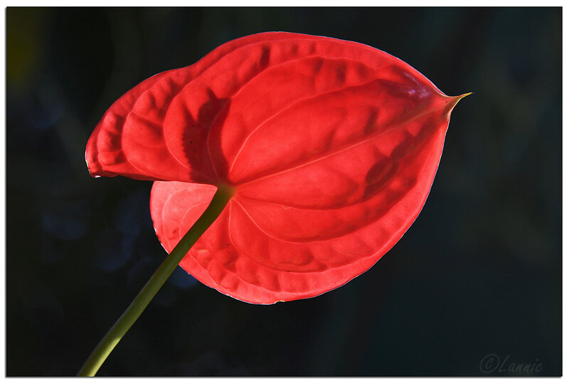 Reunion_anthurium_5