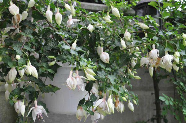 fuchsia blanc