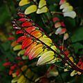 Mina Lobata flore en Valois
