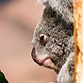 koala beauval3